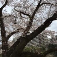 青梅 釜の淵 桜